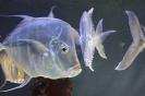 плоские рыбы